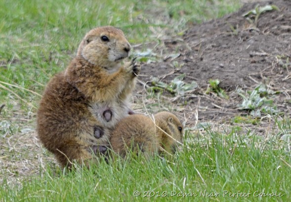 Prarie Dog w Pup