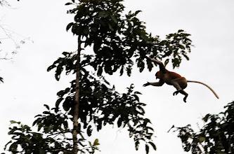 Photo: Proboscis Monkey in flight!
