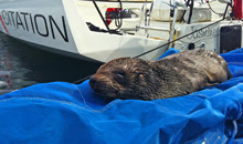 A baby seal pup taking over Capetown Volvo 70 docks- Mom does NOT want him disturbed!!