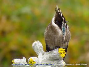 endemic, green-bearded helmetcres, Oxypogon guerinii, Parque Nacional Chingaza, Bogota Birding, Eastern andes Birding tour (Focus hummingbirds) -001.JPG