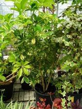 Szeflera drzewkowata Schefflera arboricola Green Gold