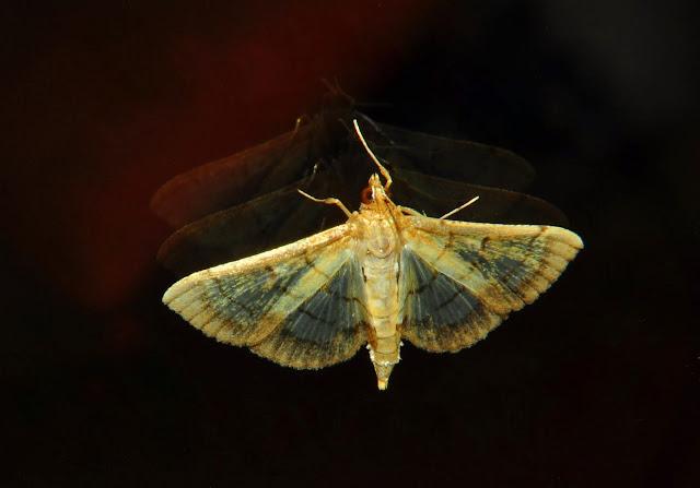 Crambidae : Pyraustinae : Cnaphalocrocis poeyalis BOISDUVAL, 1833. Umina Beach (NSW, Australie), 8 mai 2011. Photo : Barbara Kedzierski