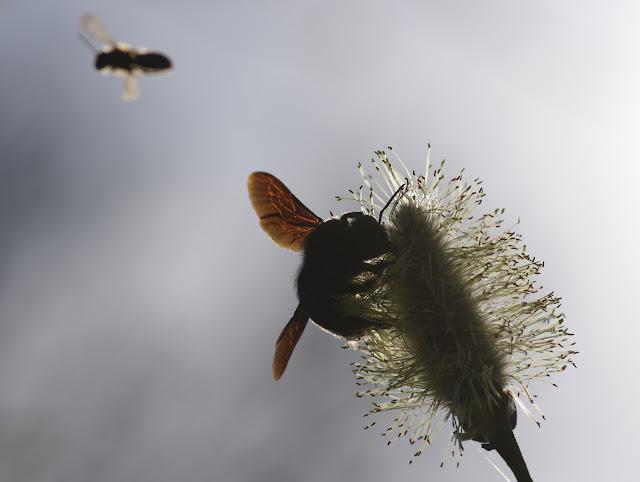 Hyménoptère. Les Hautes-Lisières (Rouvres, 28), 22 mars 2012. Photo : J.-M. Gayman