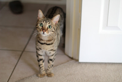 Donovan the 2 year old Bengal Cat