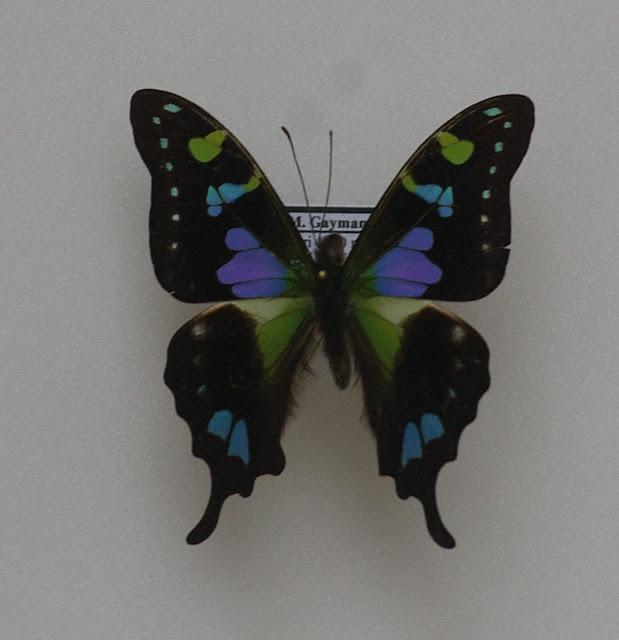 Graphium weiskei RIBBE, 1900. Siobri, Arfak, août 2007. Photo : J.-M. Gayman