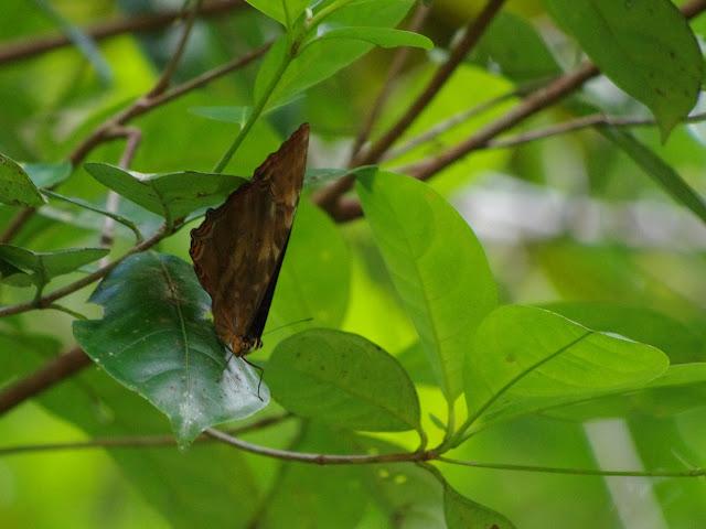 Morpho (Iphimedeia) telemachus telemachus (L., 1758). Carbets de Coralie (Crique Yaoni), 31 octobre 2012. Photo : J.-M. Gayman