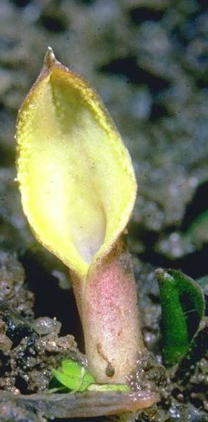 Криптокорина Богнера (Cryptocoryne bogneri)