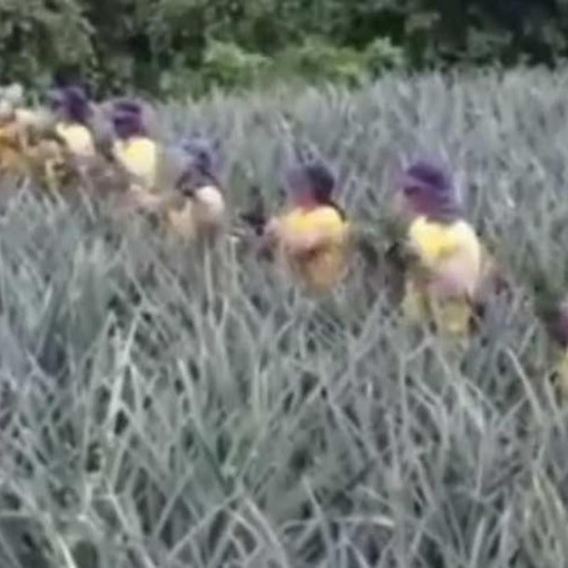 Video viral Trabajo en equipo recolectando piñas