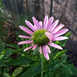 Gardening 2010, Part Two - 101_2962.JPG