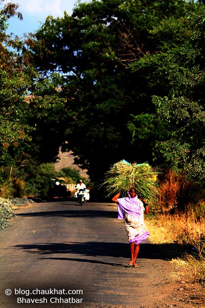 An Indian lady farmer walking on a village roadside carrying grass feed for her cows and buffalos