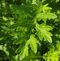Verloove F., Andeweg R. & Zonneveld B. (2017) Artemisia princeps (Asteraceae), an overlooked potentially invasive species in western Europe.