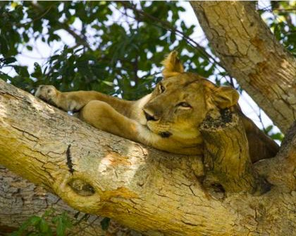 Tree climbing lions often sighted in Ishasha sector of Queen Elizabeth NP on your way to track the mountain gorillas in Bwindi safari