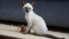 Charlies Kitten 2 - Rehomed Portugal