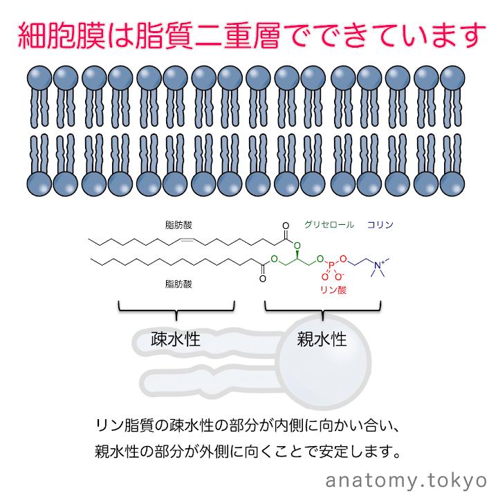 t111-06-細胞膜は脂質二重層ででいています.png
