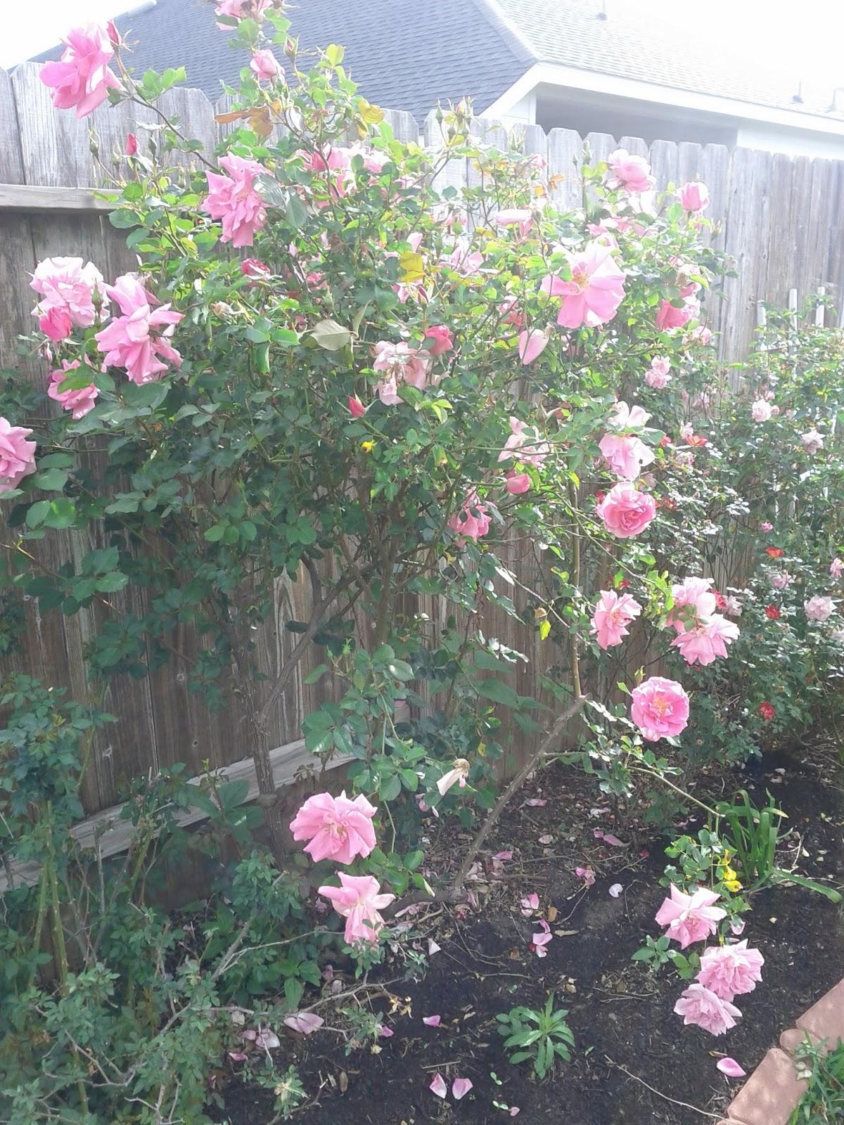 Gardening 2013 - IMG_20130330_094542.jpg
