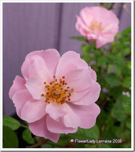 02-03-carpet-roses
