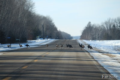 Turkeys in the road