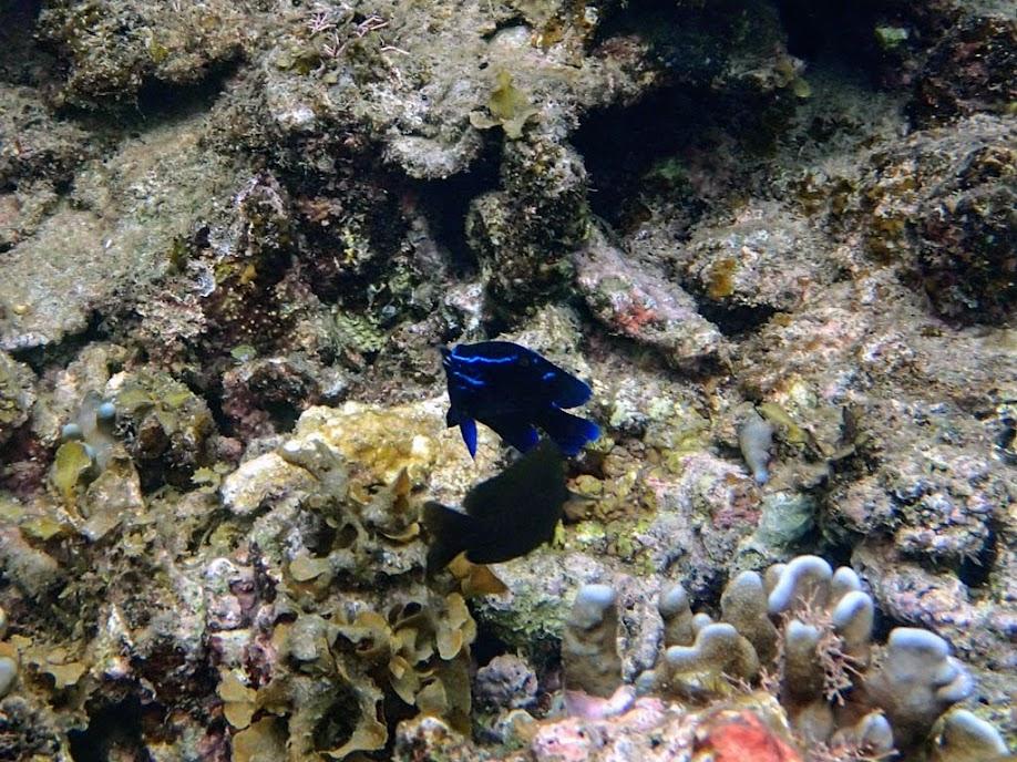 Paraglyphidodon oxyodon (Blue Velvet Damselfish) El Nido, Palawan, Philippines.