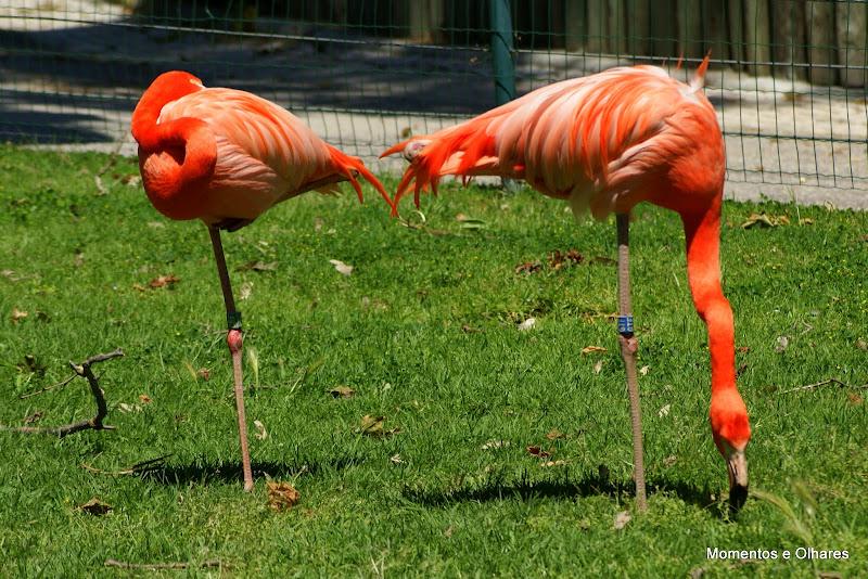 Flamingos das Caraibas