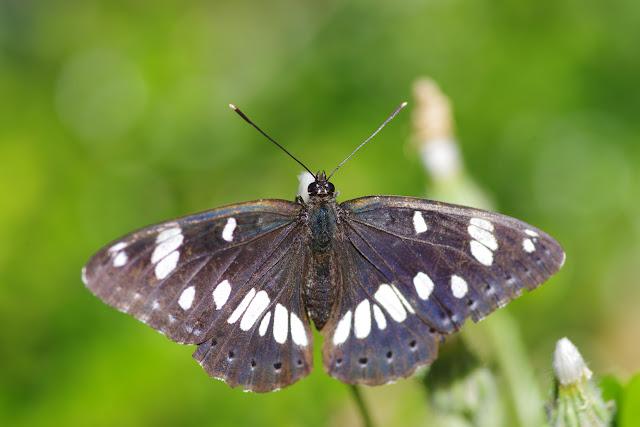 Limenitis reducta Staudinger, 1901. Les Hautes-Courennes (550 m), Saint-Martin-de-Castillon (Vaucluse), 22 juin 2015. Photo : J.-M. Gayman