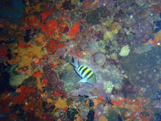 Juvenile Angelfish surrounded by coral