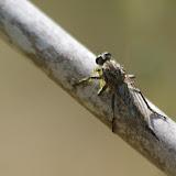 Asilidae sp. Bages (Pyr. orientales, France), 17 août 2013. Photo : J.-M. Gayman