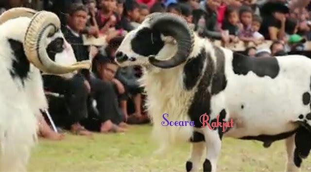 Seni adu ketangkasan domba masyarakat garut yang bersejarah