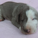 Lindy's Blue & white female @ 2 weeks