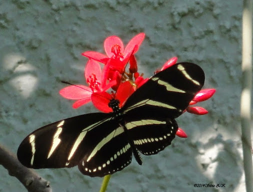 Zebra Longwing Butterfly Heliconius charitonius  This is one of my summer ...