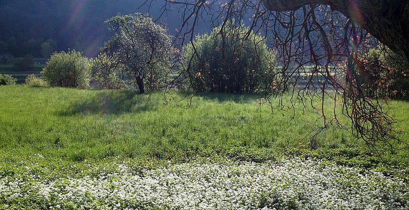 Blühender Bärlauch in den Neckarwiesen