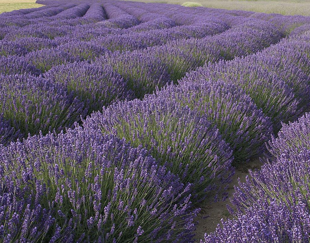 barnes - Lavender%2BField.jpg
