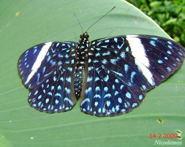 Hamadryas velutina (BATES, 1865), femelle. Pitangui (Minas Gerais, Brésil), 14 février 2009. Photo : Nicodemos Rosa