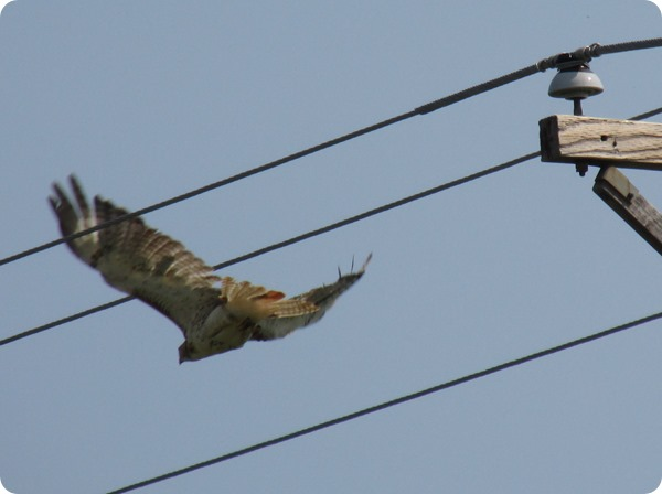 IMG_8573 Red-tailed Hawk Bird (2)