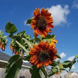 Gardening 2010, Part Three - 101_3938.JPG