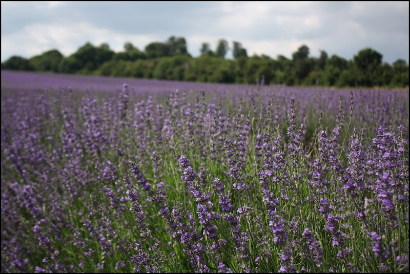 Fields of Lavender at Castle Farm Lavender - The Hop Shop