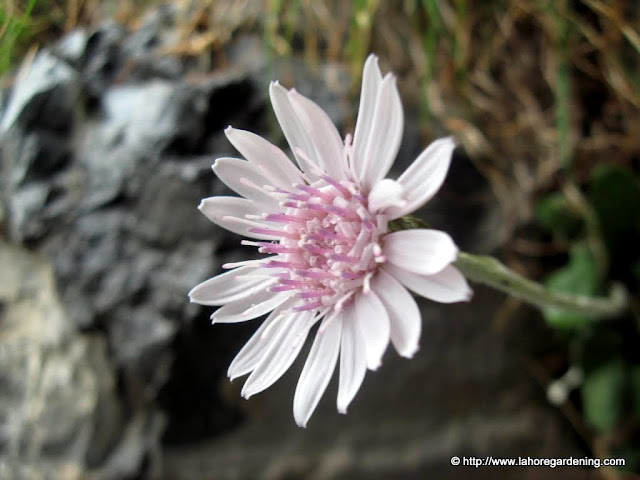 flower of nathia gali