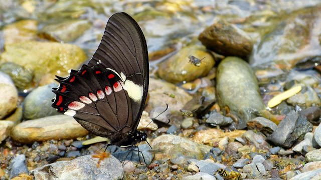 Pterourus menatius lenaeus (E. Doubleday, 1846). Taipiplaya, 900 m (Yungas, Bolivie), 24 décembre 2014. Photo : Jan Flindt Christensen