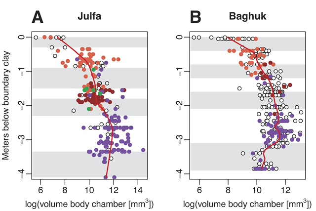Decline of late Changhsingian ammonoid (Dzhulfitidae) sizes in Iran. Size is approximated by the volume of the body chamber. Red lines represent local polynomial regression fitting (LOESS, LOcal polynomial regrESSion fitting) with an Akaike's Information Criterion (AIC)-selected optimal smoothing parameter (0.41 for Julfa, 0.21 for Baghuk). Ammonite zones are shaded as in Figure 2. The dominant, identified genera are colored: purple—Paratirolites; brown—Alibashites, orange—Abichites, green—Stoyanowites. Graphic: Kiessling, et al., 2018 / Geology