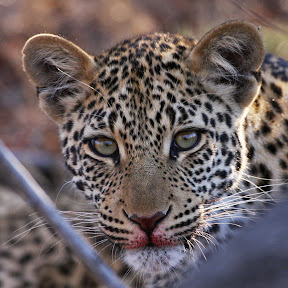Leopard Baby, South Africa