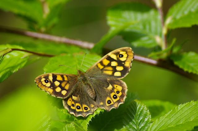 Pararge aegeria LINNAEUS, 1758, femelle, en forêt. Les Hautes-Lisières, 8 mai 2009. Photo : J.-M. Gayman