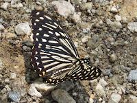 Common Mime (Chilasa clytia)