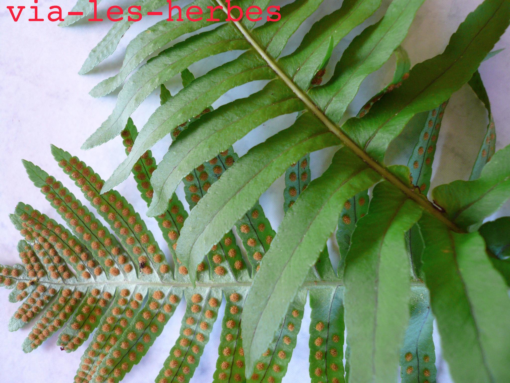 Herbier via les herbes for Portent feuilles