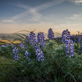 Lupine by James Case - Flowers Flower Gardens ( floral photography, nature, lupine, landscape photography, flowers, fields )