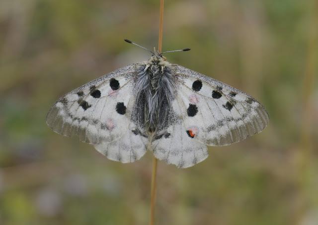 Parnassius apollo provincialis KHEIL, 1905, femelle. La Blachière, 1700 m (Maurin, Alpes-de-Haute-Provence), 9 août 2009. Photo : J.-M. Gayman
