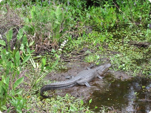 21 Van Fleet - Alligator