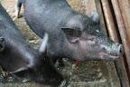 TBF future project: Micro finance income generating pig farms