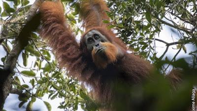 Orangutan Tapanuli (Pongo Tapanuliensis): Spesies Baru Orang Utan Sumatera