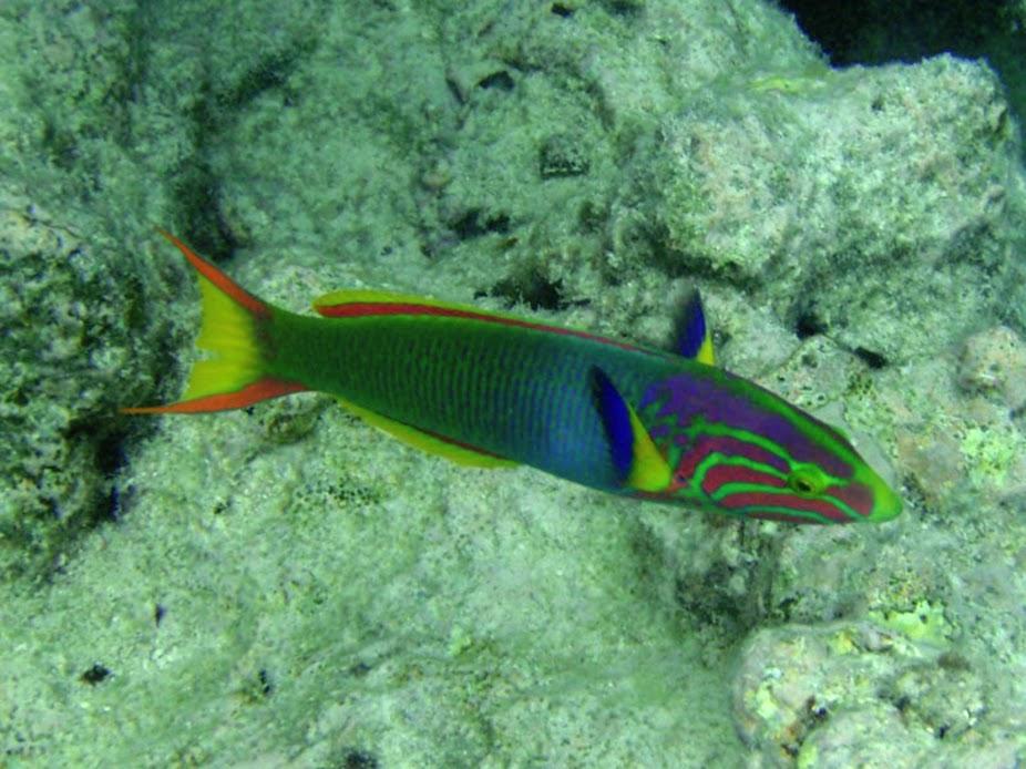 Thalassoma lutescens (Sunset Wrasse), Rarotonga.