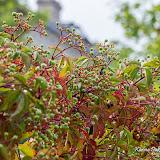 Девичий виноград (Parthenocissus sp.)
