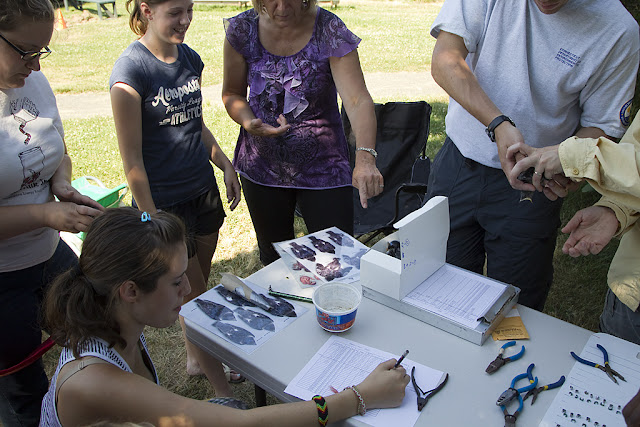 Purple Martin Banding Hammonasset Park July 2012 - BC3G6079.jpg